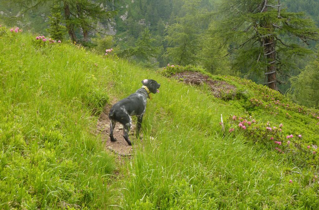 Conduttori di cani da ferma in ambiente alpino